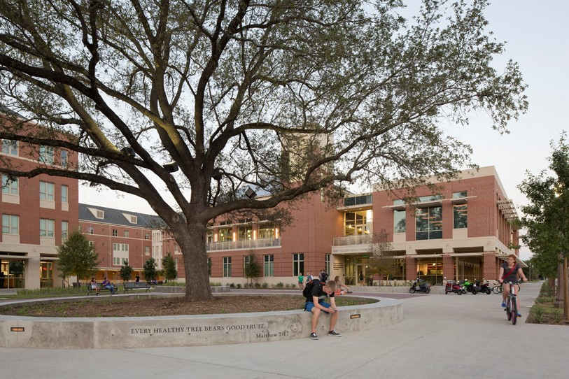 At Baylor University the relocated live oak serves as a cornerstone of the new East Village community.